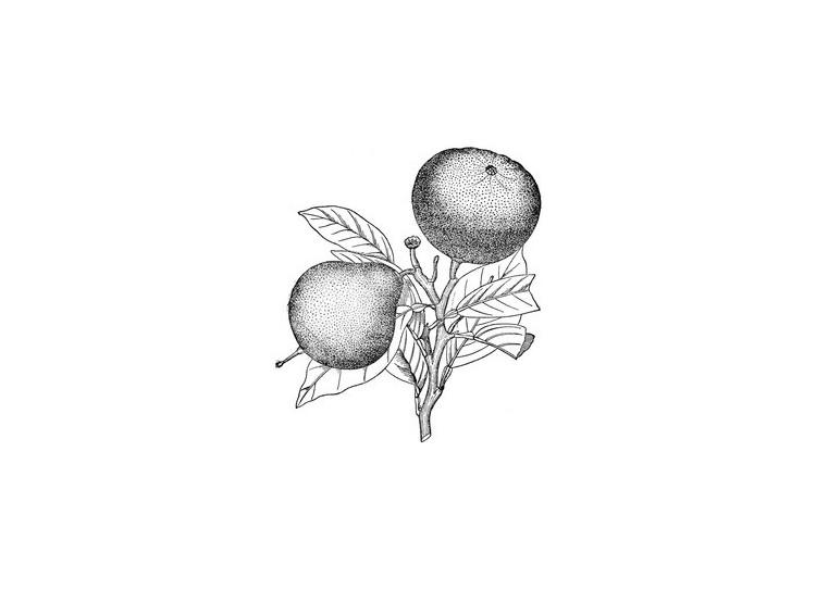 Bergamočių eterinis aliejus (Citrus bergamia)