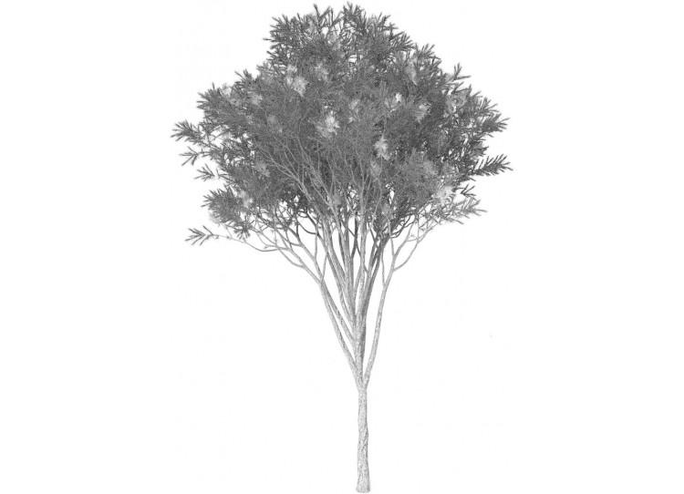Arbatmedžių eterinis aliejus (Melaleuca alternifolia)
